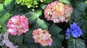 Pretty Plants by Flowering Plants Mountain Lovely Hydrangea Pretty Flower