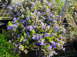 australian native plant nursery angus u0027s top ten australian plants for colour gardening with angus