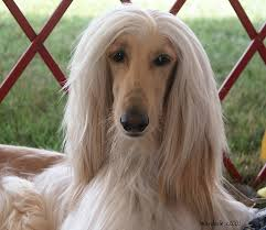 afghan hound judith light 184 best dogs one day more than one images on pinterest