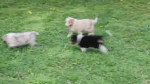 australian shepherd mix puppies for sale australian shepherd mix puppies for sale youtube