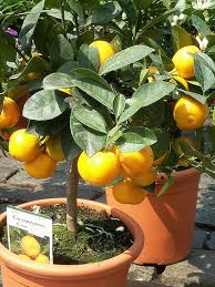 When Does A Lemon Tree Produce Fruit - 7 tips to growing citrus fruit indoors reclaim grow sustain