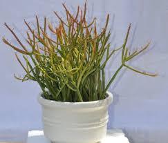 Low Light Outdoor Plants Plants Succulents Succulent Pink Ice Pink Flowering Succulent