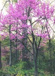tree with purple flowers gallery