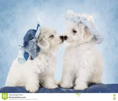 bichon frise x jack russell bichon frise puppies in hats stock photo image 80334081