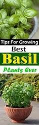 the 25 best basil plant ideas on pinterest water plants
