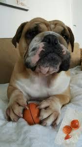 2046 best bulldogs images on pinterest english bulldogs animal