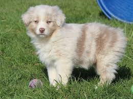 australian shepherd double merle faithwalk aussies eyes pigment markings