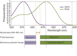 functional characterisation of the chromatically antagonistic