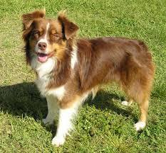 australian shepherd velcro dog australian shepherd dog breed