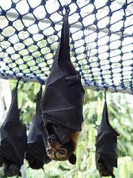 As Blind As A Bat Meaning Megabat Wikipedia