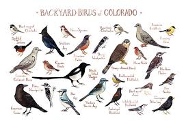 Backyard Birds Utah Colorado Backyard Birds Field Guide Art Print Watercolor