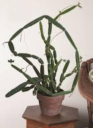 veldt grape cissus quadrangularis garden inspiration