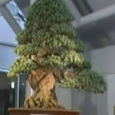 the most expensive bonsai tree a centuries pine sold