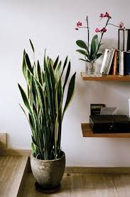 best indoor house plants 15 houseplants for improving indoor air quality snake plant snake
