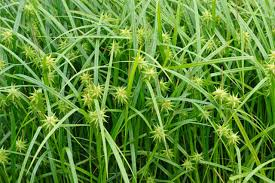 carex grayi mace sedge