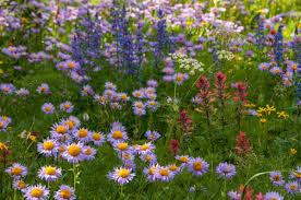 idaho native plants a guide to idaho u0027s dazzling wildflower variety outdoors and