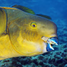 parrotfish national geographic