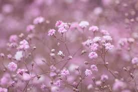 baby s breath flower baby breath flower meaning flower meaning