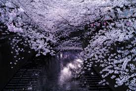 cherry blossoms over the meguro river in tokyo colossal