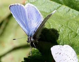 small blue butterfly celastrina echo bugguide