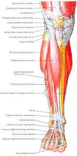 Anatomy Of The Knee Anatomy Of The Human Leg Image Collections Learn Human Anatomy Image