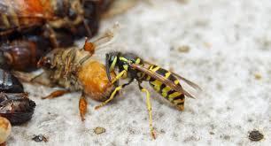 yellow jackets bee informed partnership