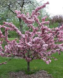 camelottm flowering crabapple gas and electric