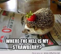 Hedgehog Meme - hedgehog is funny