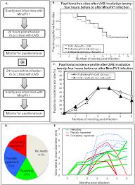 role of ultraviolet radiation in papillomavirus induced disease