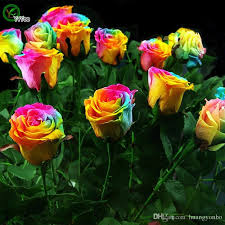 multi colored roses 2018 garden plants beautiful rainbow seeds multi colored