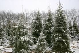 westman u0027s tree farm u cut christmas trees dexter mi