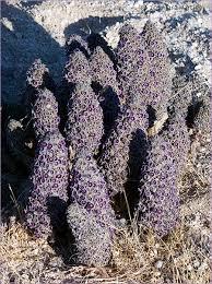 scaly stemmed sand plant desert christmas tree purple sand food