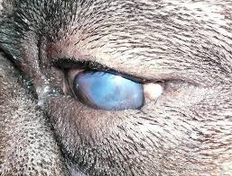 Blind Dog Eye Discharge What Causes A Bad Odor Around Eyes In Dogs