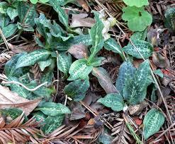 washington native plants goodyera oblongifolia wikipedia