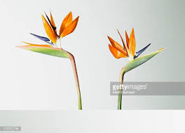Bird Of Paradise Flower Bird Of Paradise Plant Stock Photos And Pictures Getty Images