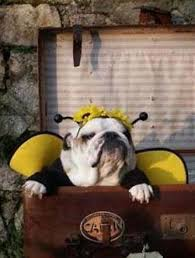 Halloween Costumes English Bulldogs 25 Bulldog Costume Ideas Bull Dog Baby