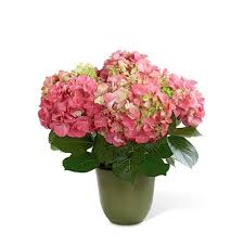 pink hydrangea pink hydrangea planter at send flowers