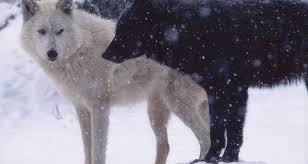 white wolf black wolf a and other poetry by dusty