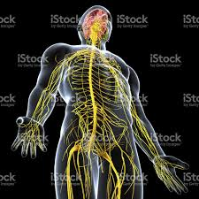 Male Body Anatomy Organs Nervous System Of Male Body Anatomy With Highlighted Brain Stock