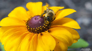 yellow daisy wallpapers yellow daisy and bumble bee 12 27 2013 wallpaper background