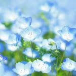 light blue flowers ba blue natures seed baby blue flowers house beautiful