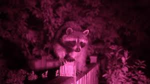 raccoon nation about nature pbs