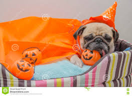 cute happy halloween images cute pug dog with costume of happy halloween day sleep rest lay