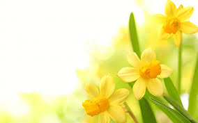 yellow flowers yellow flowers hd 14 hd wallpaper hdflowerwallpaper