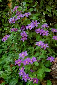 best 25 clematis plants ideas on pinterest clematis trellis