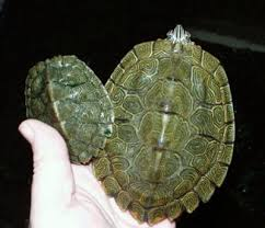 map turtle cagle s map turtle graptemys caglei family emydidae map turtles