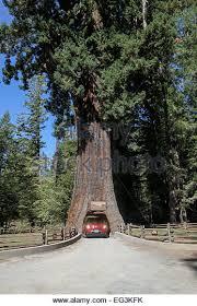 Chandelier Tree Address Car Driving Through Tree Stock Photos U0026 Car Driving Through Tree