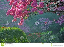 Trees With Pink Flowers Trees In Full Bloom With Pink Flowers Royalty Free Stock Image