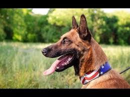 american bulldog x belgian malinois american bulldog training video funnydog tv