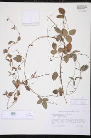 native plants of south carolina galactia regularis species page isb atlas of florida plants